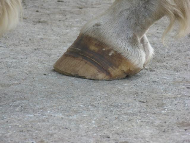 Besoin d'avis et conseils sur les pieds de mon cheval IMG_2155