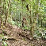 Dense forest on the Lyrebird Trail (364802)