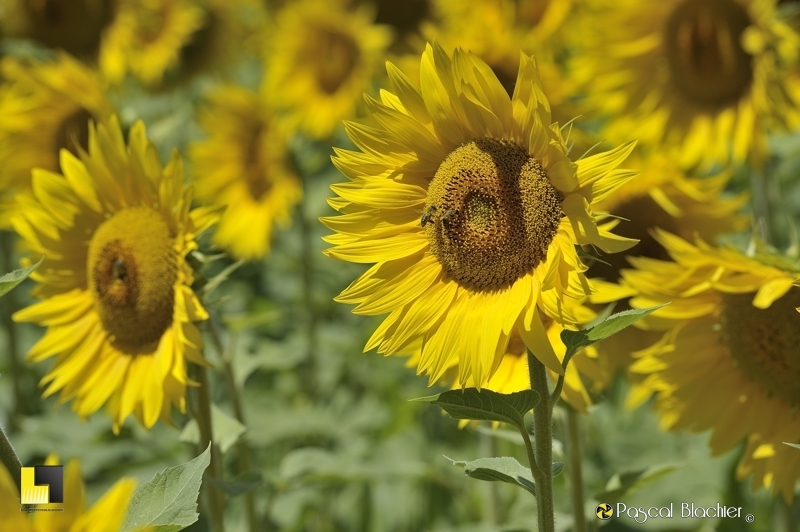 tournesol photo pascal blachier