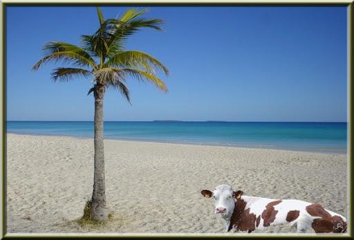 vache plage exotique 1 palmier