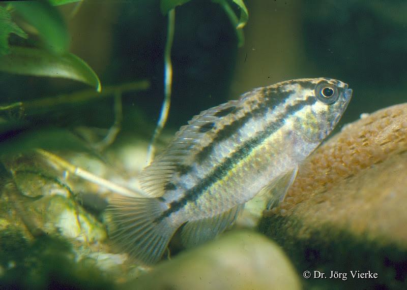 Glänzender Zwergbuntbarsch Nannacara anomala, Männchen