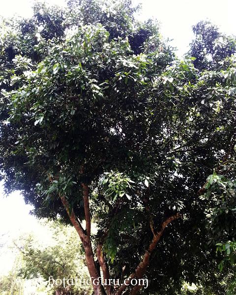 Baikiaea insignis, Nkobakoba tree
