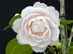 淡桃色 宝珠〜千重咲き 肉厚弁 大輪