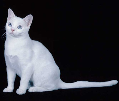 american-shorthair-cat-white-1