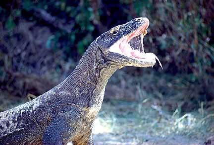 Komodo dragon size - photo#24