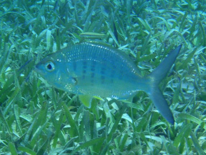 Gerres cinereus (Yellow-fin Mojarra), Ambergris Caye, Belize.