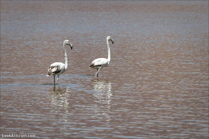 LookAtIsrael.com: О фламинго и других пернатых (israel  эйлат пустыня братья наши )