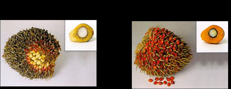 buah segar dengan tangkai lebih dari 5 cm di ukur dari ujung yang