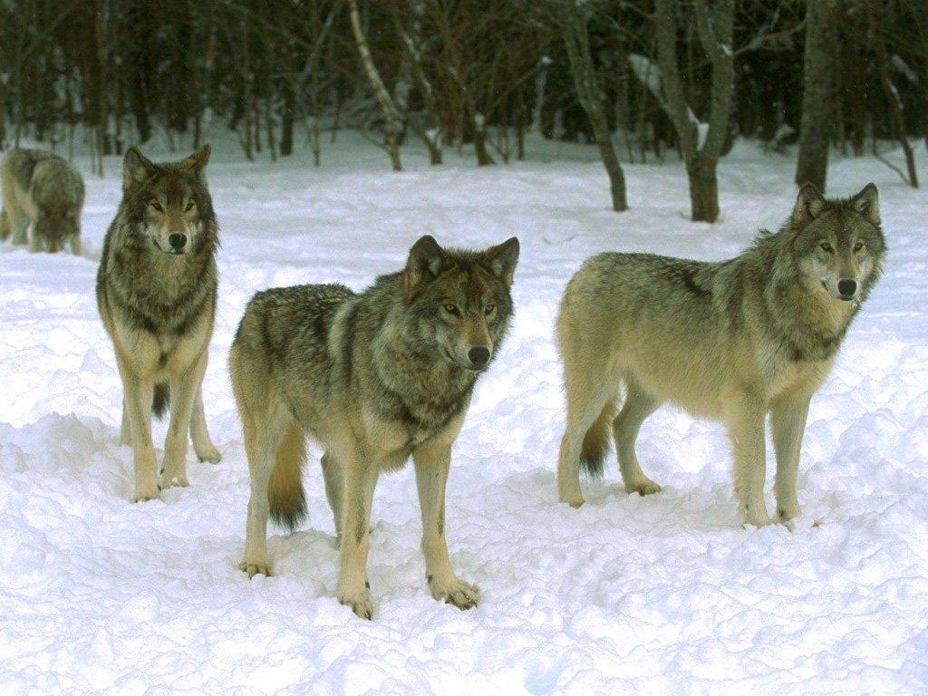 Картинки волков стаи зимой