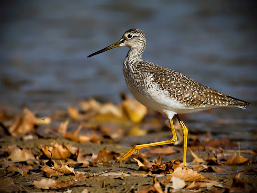 Yellowlegs Birds