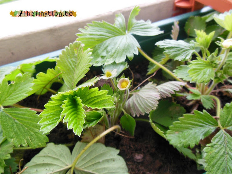 Wild Strawberry Plants