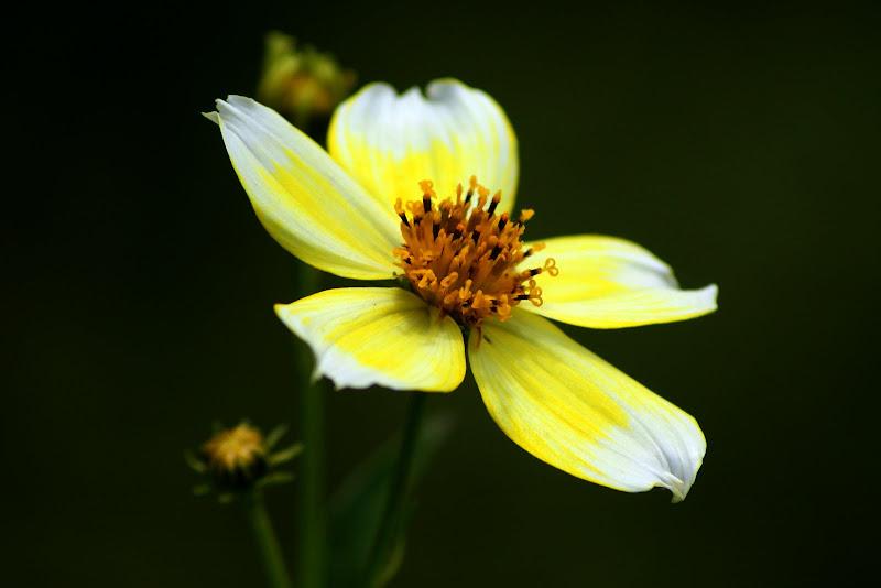 Uma pequena flor amarela