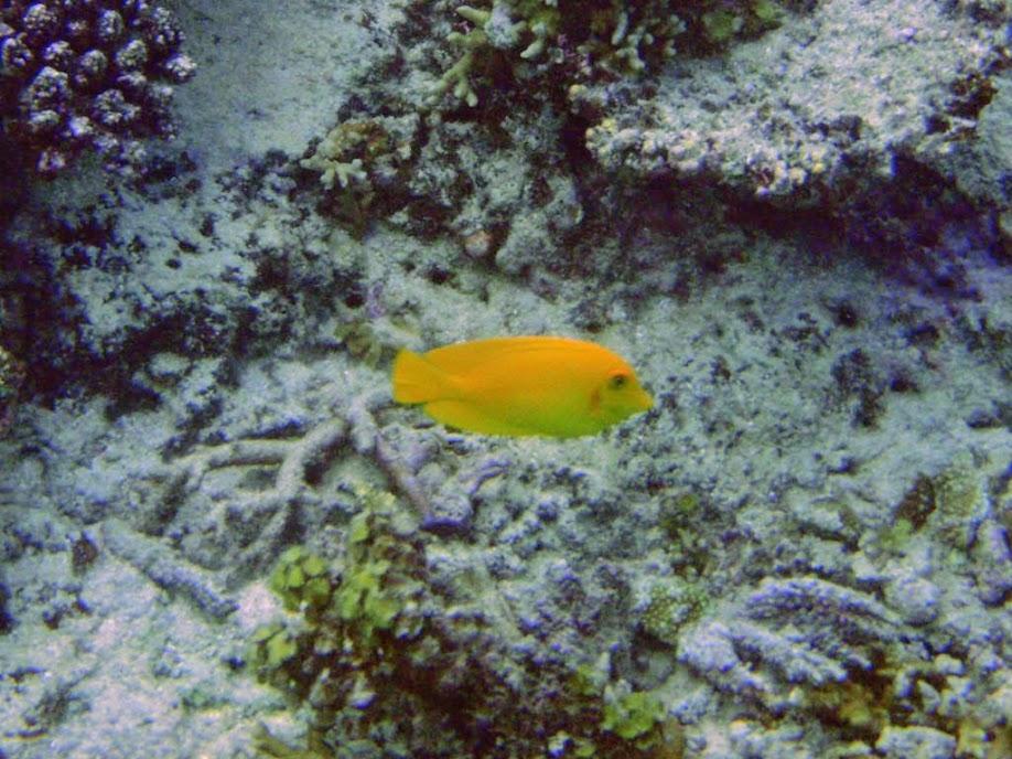 Acanthurus pyroferus (Mimic Tang), Naigani Island, Fiji.