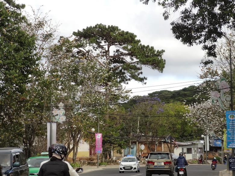 Từ đường Trần Phú ra đến đầu đèo, hoa ban cũng rợp trắng cả đường