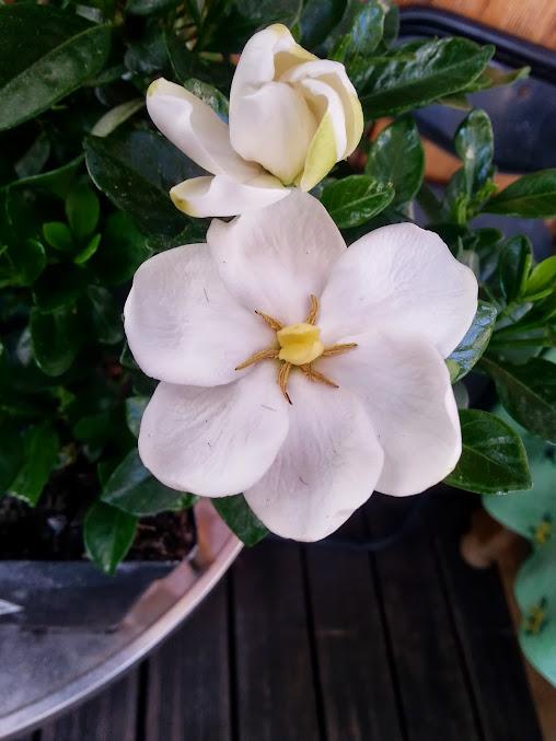gardenia?,,? 20130820_190026