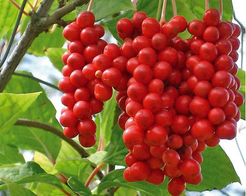 Schisandra Schisandra (Schisandra Chinensis)