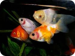 Ваши питомцы и Вы. Рыбки.