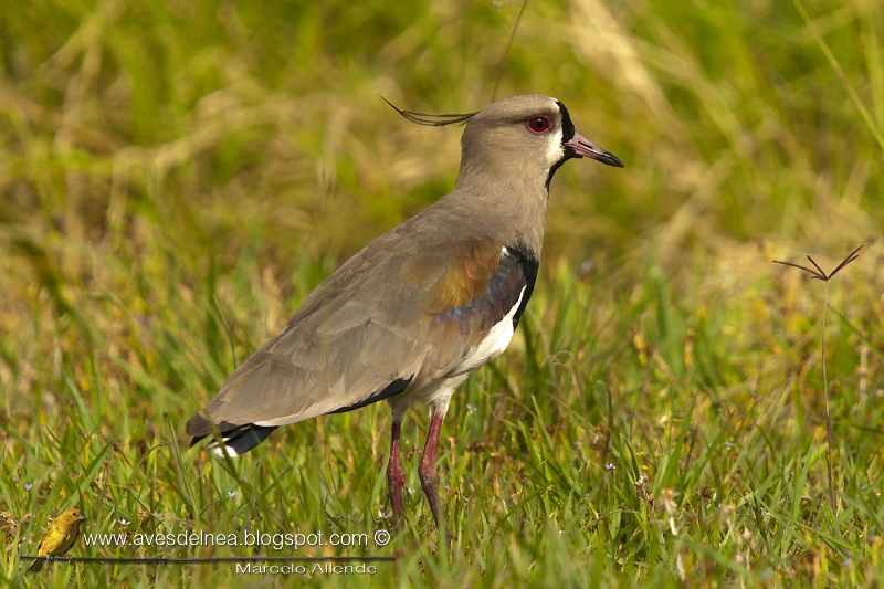 Tero común, Southern Lapwing, Vanellus chilensis