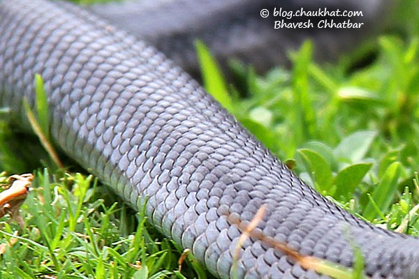 Black Cobra Snake of India