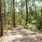 Eucalyptus forest in the Blackbutt Reserve (401920)
