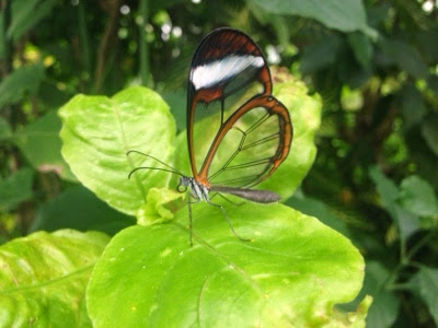 Transparant butterfly at Butterfly world, Preston Park, Stockton on Tees