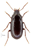 Amarotypus edwardsii. Photo: BE Rhode. Citation: Larochelle A, Larivière M-C 2013. Carabidae (Insecta: Coleoptera): synopsis of species, Cicindelinae to Trechinae (in part). Fauna of New Zealand 69: 193 pp.