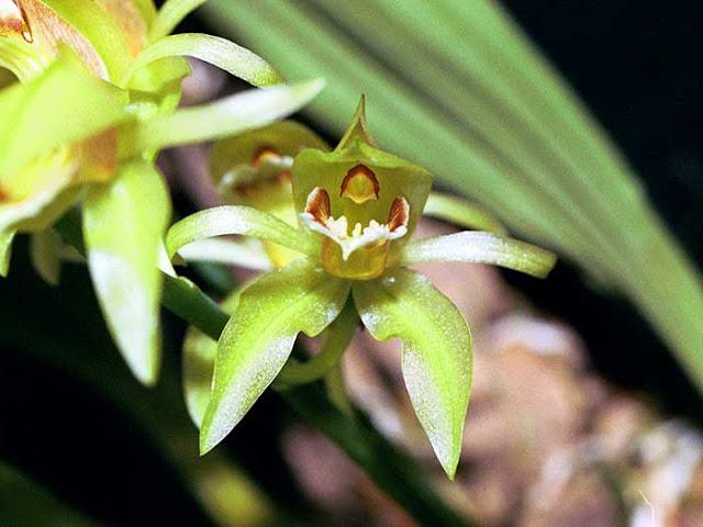 Растения из Тюмени. Краткий обзор - Страница 3 Coelogychloroptera