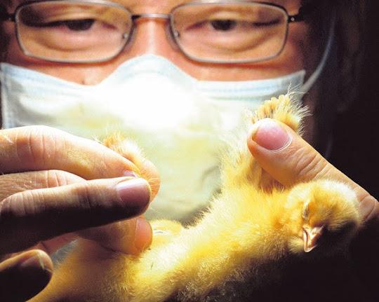 Sexador de pollos