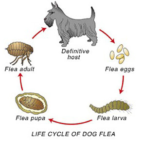De levenscyclus van vlooien bij honden