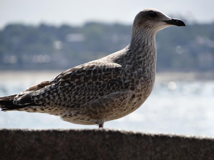 DSC01547.jpg - Les oiseaux � Saint-Malo par Bretagne-web.fr