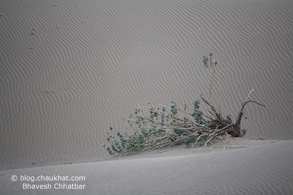 A lonely fallen tree in the midst of the desert of Jaisalmer in Rajasthan state of India. Look; it's still alive!