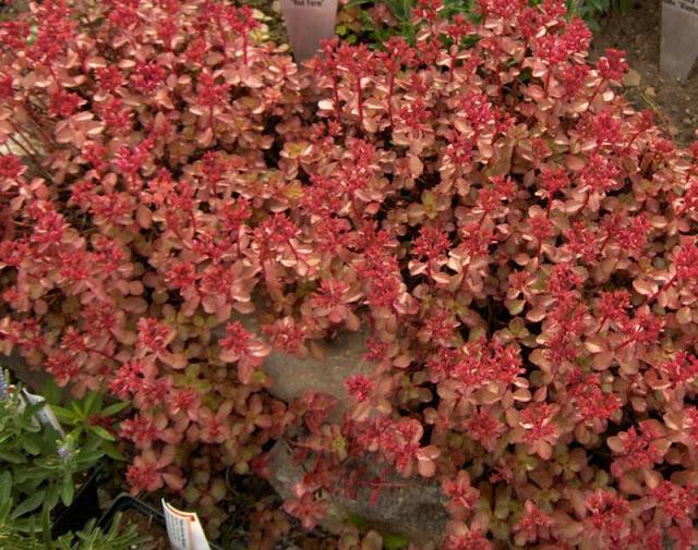 cubierta vegetal cubiertas vegetales sedum cantir