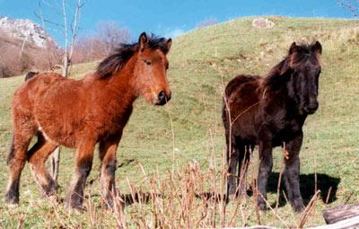 [Imagen: caballos-asturcon.jpg]