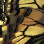 Крыло бабочки Butterfly wing