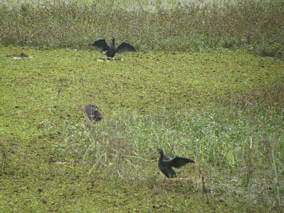 11-Nov-2010 Little Cormorants  Pic: Arathi Manay