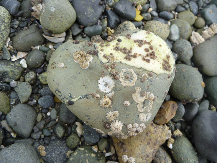 Barnacle-crusted rock at Miracle Beach, BC (August 2012) – photo by Stephen Lund