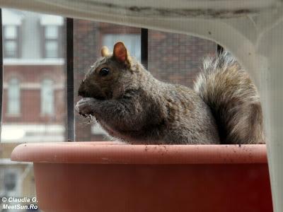 Montreal. Veverița pe balcon