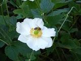 bee-white-flower-DSC02669.JPG