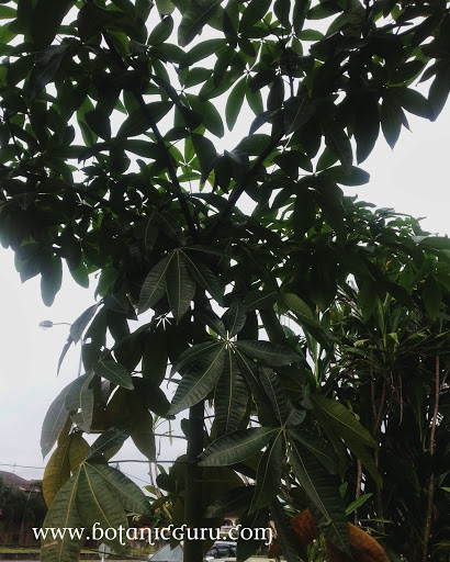 Pachira glabra, Malabar Chestnut