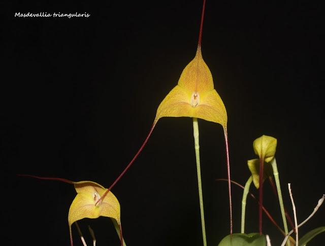 Masdevallia triangularis  IMG_0706b%2520%2528Medium%2529