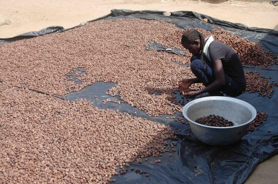 Sheakerne werden nach dem waschen und trocknen aussortiert. Nur die besten Nüsse werden weiterverarbeitet