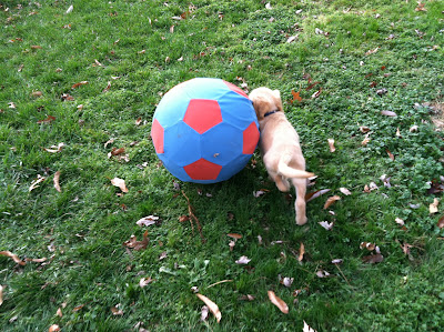sonny, backyard, golden, retriever, ball, big, grass, playing,puppy
