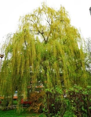 Wierzba płacząca Salix x sepulcralis Chrysocoma