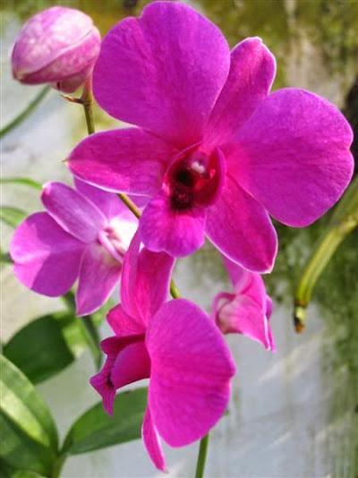 Hoa lan dendro nắng cấp cao