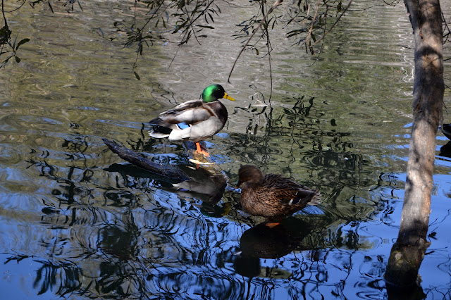 two mallards in the pond