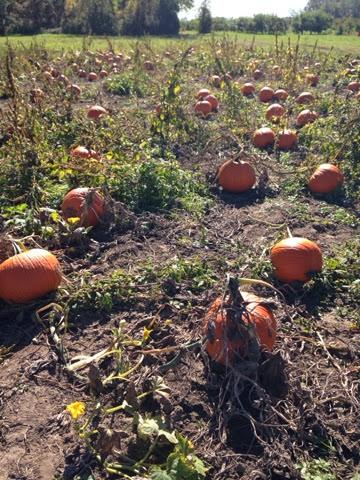 Pumpkin Picking Long Island Bayshore