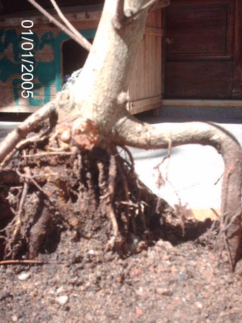 Ficus Microcarpa var. Indica... PICT1614