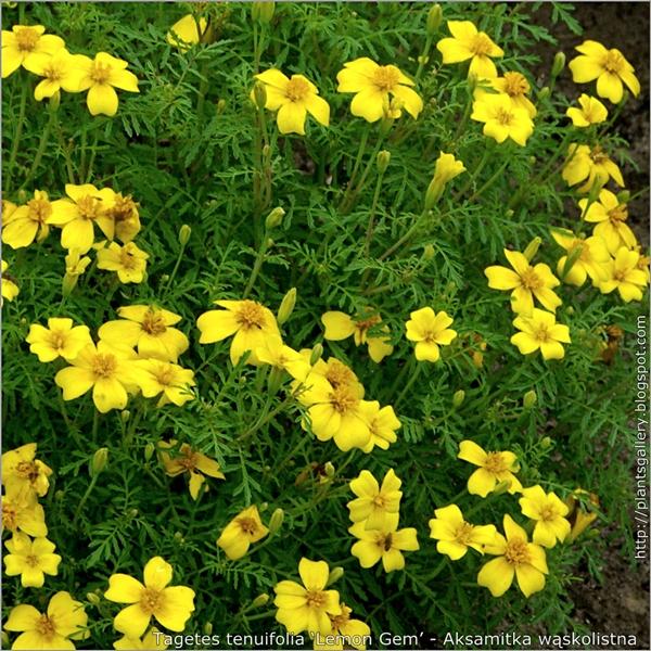 Tagetes tenuifolia 'Lemon Gem' - Aksamitka wąskolistna
