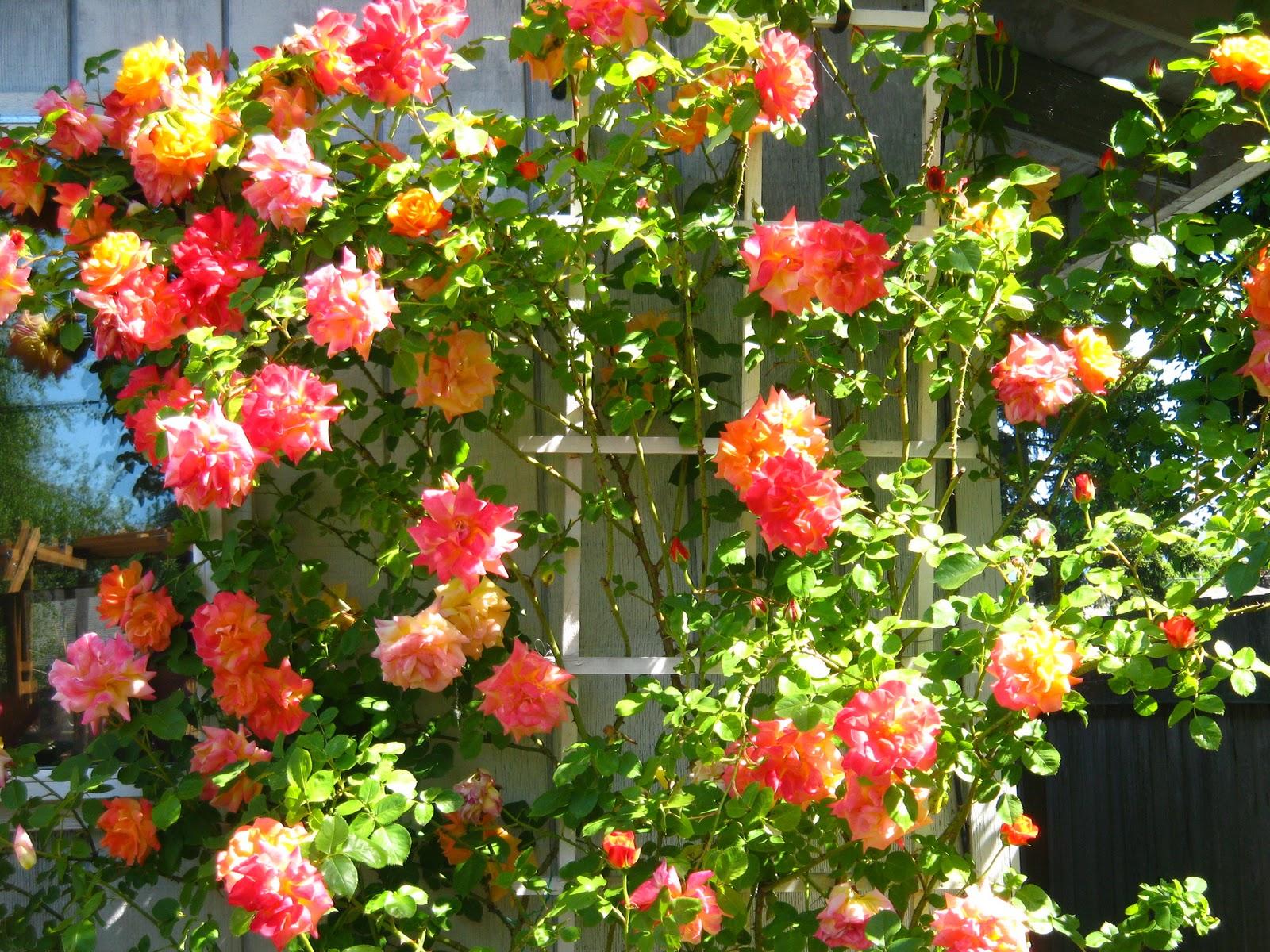 Roses:Rose Bush Identification?