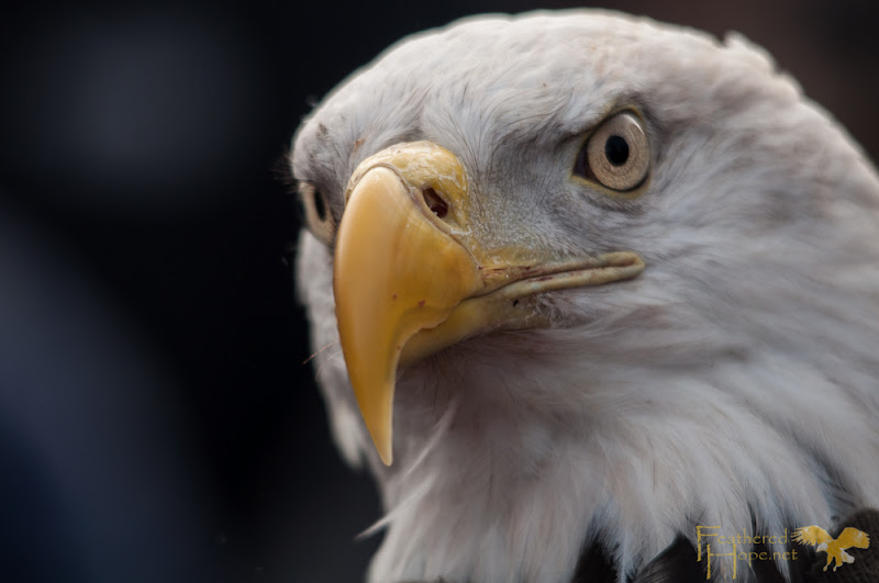 A rehabilitated male bald eagle just minutes prior to being released back into the wild. Photo by Lisadawn Schram